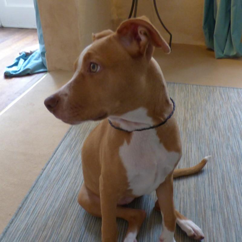 collier  type lakhovsky pour chien